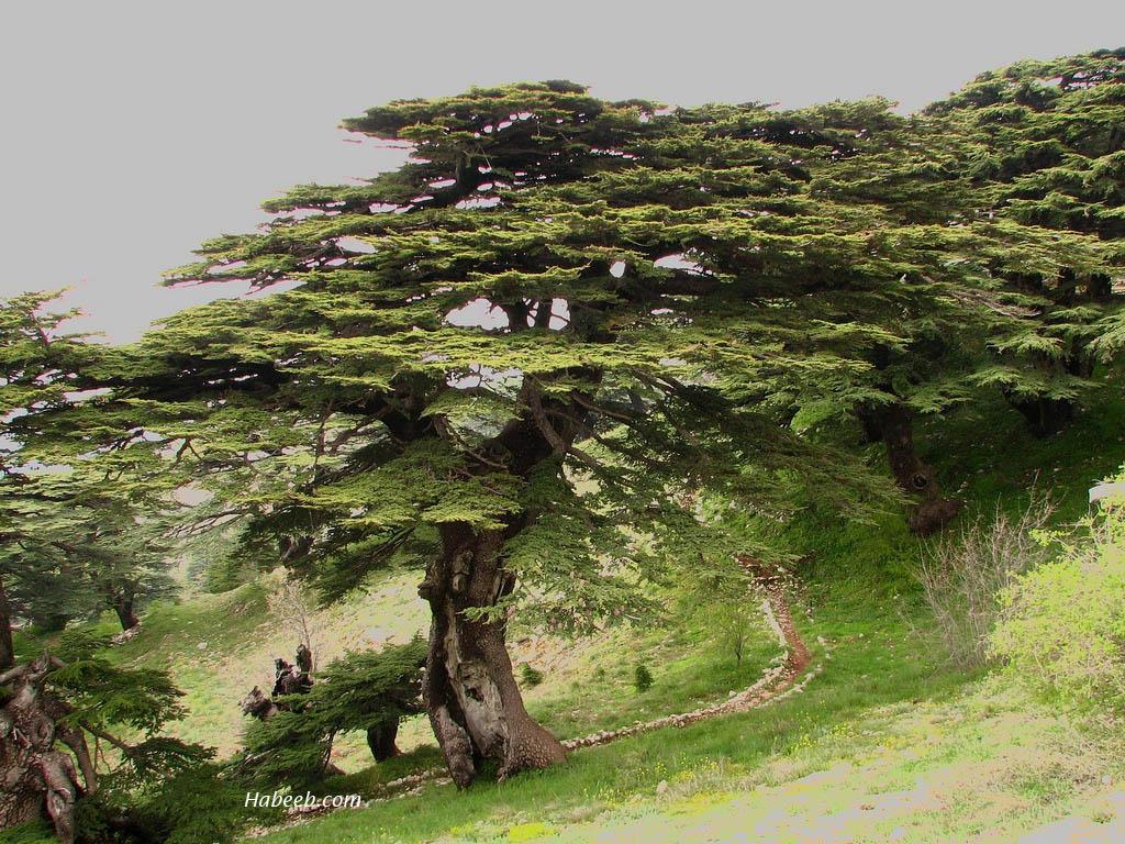 Cedars Of Lebanon ~ The cedars of lebanon us message board political