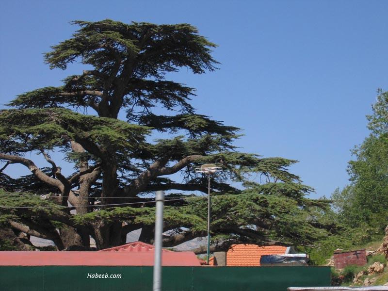 Cedars Of Lebanon ~ Cedars of lebanon